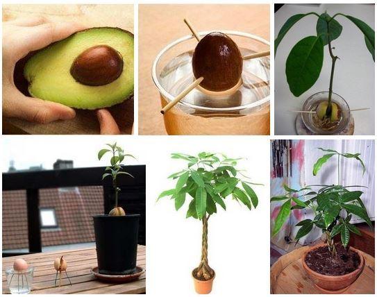 Авокадо из косточки в домашних условиях чтобы были плоды 53