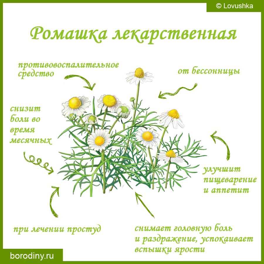 Ромашка лекарственная: описание и полезные свойства, применение
