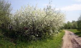 Вишня цветет 2019 год деревня Елагино