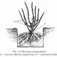 Пересадка взрослого куста смородины