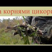 Embedded thumbnail for Заготовка корней цикория
