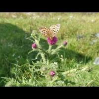 Embedded thumbnail for Бабочка перламутровка на цветке чертополоха. Relax live в деревне